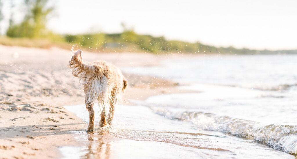 A dog walks along a dog friendly beach in Port Austin, Michigan